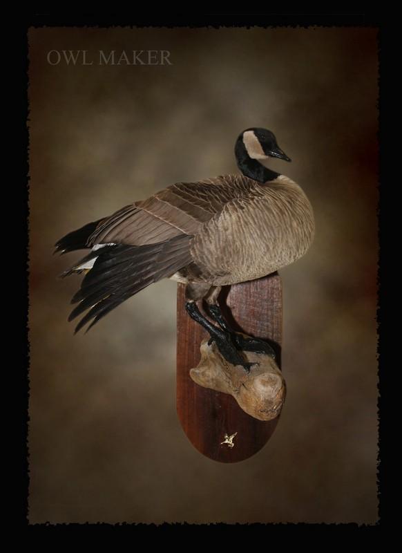 Canada Goose Taxidermy Turkey Mounts